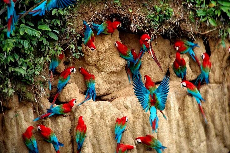 Aves-tropicales-del-Peru-Reserva-natural