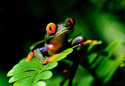 Rana verde pequeñas - Marcas Colectivas - Biodiversidad